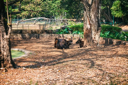 African or Cape buffalo, Bison (Bison bison) resting lying on the ground in Trivandrum, Thiruvananthapuram Zoo Kerala India