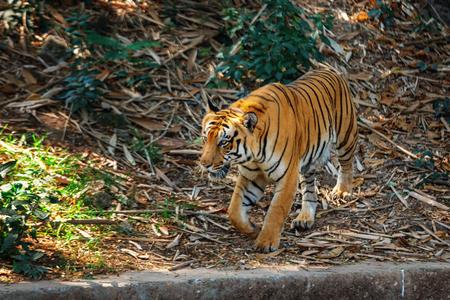 Royal Bengal Tiger - wild cat predator walking and posing in in Trivandrum, Thiruvananthapuram Zoo Kerala India