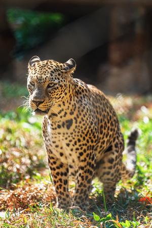 Leopard wild cat predator sitting and posing in in Trivandrum, Thiruvananthapuram Zoo Kerala India Imagens