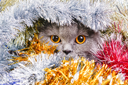 Photo by beautiful scottish cat in the colored tinsel. Stock Photo - 69639542