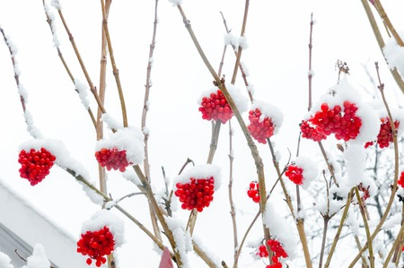 red berries under snow, , background, mountain ash, hawthorn