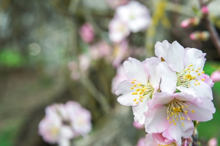 Pink flowers, almond tree branch blossom in spring