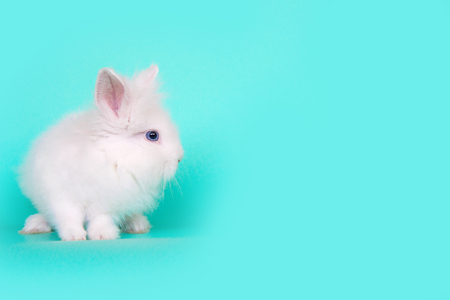 Spring and Easter concept image. Front view of one white bunny rabbit sitting on its paws, over a light blue mint background. High resolution studio image with copy-space.