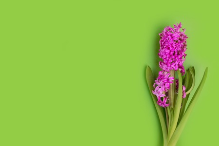hyacinth pink flower ona green backgrond studio photo. Free space for your text. 스톡 콘텐츠