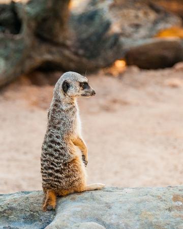 Meerkat cute Surikate found in Zoo, Australia