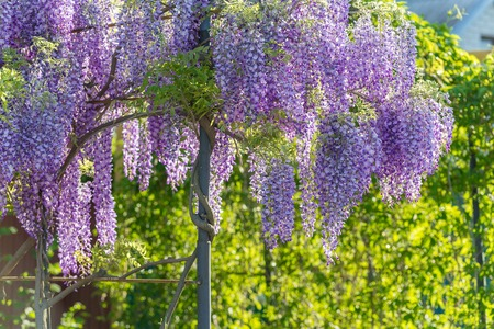 Wisteria Lane in Park. Chinese Wisteria blossom on Garden background. Fabaceae Wisteria sinensis flowers.