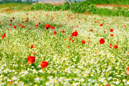 Red poppy on a meadow with a lot of white daisies or chamomile and cornflower in golden sunlight, abundance wild flower background with copy space, selected focus, narrow depth of field.