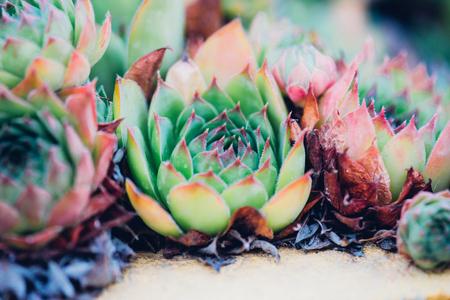 Sempervivum tectorum,Common Houseleek, - perennial plant growing in flower pot. Sempervivum in nature, great healthy plant for herbal medicine.