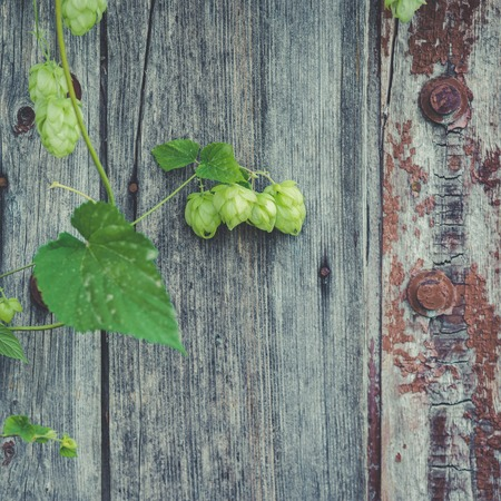 detail of hop cones on a rustik style wooden background.