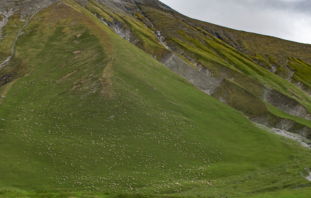flock of sheep on the slope of the mountain.