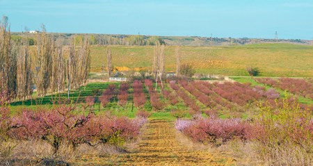 blooming peach trees on the background of blue sky