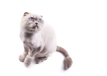 Cat scottishfold trimmed by a groomer like a lion, looks up, on a white background.