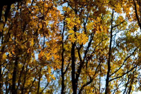 Falling oak leaves on the scenic autumn forest Archivio Fotografico - 131569570