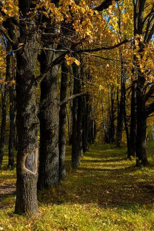 Falling oak leaves on the scenic autumn forest Archivio Fotografico - 131572757