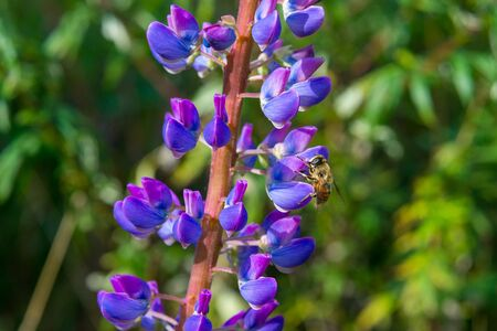 Close up of Bumble bee gathering nectar from Lupine flowers in spring, California. Archivio Fotografico - 132692766