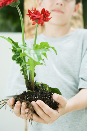 Boy holding gerbera daisies and soil in cupped hands, cropped view