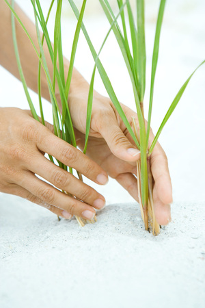 Hands holding dune grass growing in sand, close-up LANG_EVOIMAGES