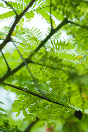 Mimosa branches and leaves, close-up LANG_EVOIMAGES