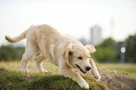 Golden retriever puppy playing in park