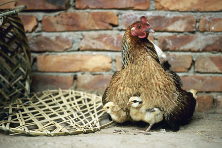 Hen and chicks LANG_EVOIMAGES