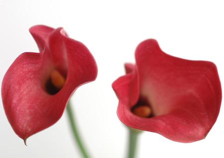 arum: Calla lillies