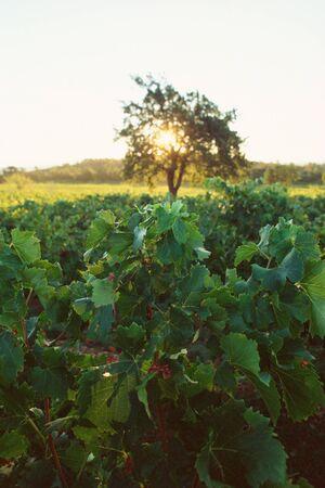 Vineyard at sunrise LANG_EVOIMAGES