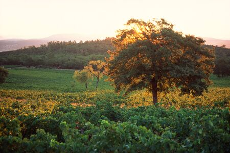 panoramas: Vineyard LANG_EVOIMAGES