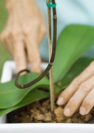 stakes: Woman caring for orchid, close-up of hands LANG_EVOIMAGES