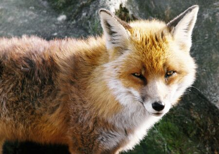guile: Red Fox (Vulpes vulpes), Scotland, close-up