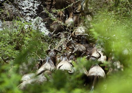 Africa, Tanzania, herd of Blue Wildebeests (Connochaetes taurinus) migrating over stream, high angle view LANG_EVOIMAGES