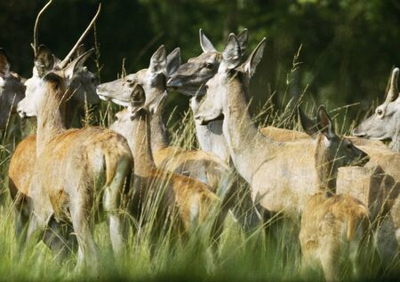 Herd of Western European Red Deer (Cervus elaphus elaphus)