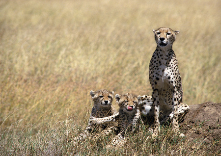 East African Cheetahs (Acinonyx jubatus raineyii), mother and two cubs, sitting in grassland savannah LANG_EVOIMAGES