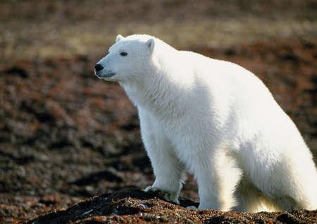 furs: Polar Bear (Ursus maritimus)