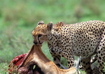 East African Cheetah (Acinonyx jubatus raineyii) eating its prey