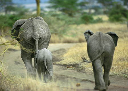 African Bush Elephant family (Loxodonta africana) walking on dirt path, Botswana, Africa, rear view