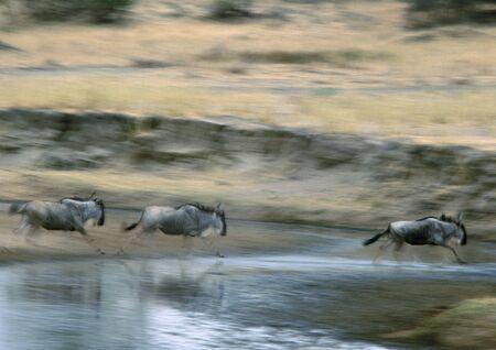 Africa, Tanzania, Blue Wildebeests (Connochaetes taurinus) running, blurred motion