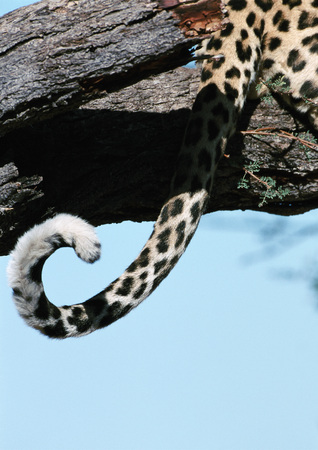 African Leopard (Panthera pardus) sitting in tree, close up of tail, cropped