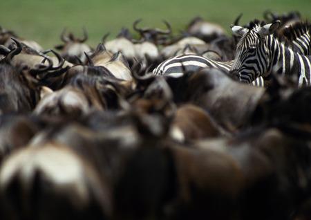 Africa, Tanzania, Blue Wildebeests (Connochaetes taurinus) and Plains Zebras (Equus quagga) LANG_EVOIMAGES