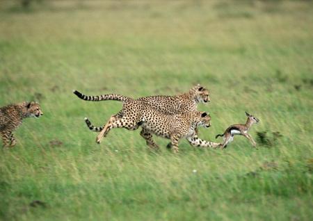 pursuing: East African Cheetahs (Acinonyx jubatus raineyii) pursuing baby Thomsons Gazelle (Eudorcas thomsoni)