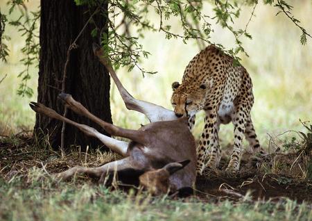 Eastern African Cheetah (Acinonyx jubatus raineyii) eating dead gazelle under tree