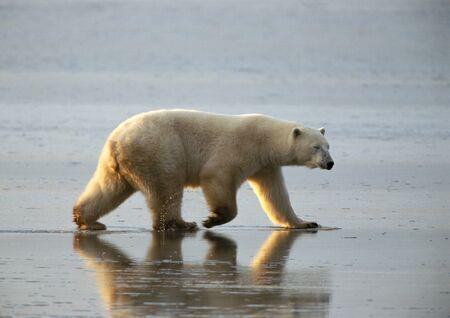 Polar Bear (Ursus maritimus) walking across mud flat, Canada