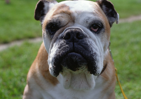 fidelidad: Close up of bulldog