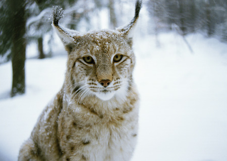 furs: Eurasian Lynx (Lynx lynx) in snow, Germany, looking at camera LANG_EVOIMAGES