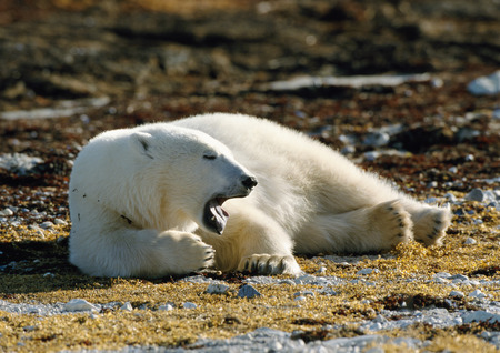 furs: Polar Bear (Ursus maritimus) lying on lichen-covered ground with mouth open, Canada LANG_EVOIMAGES