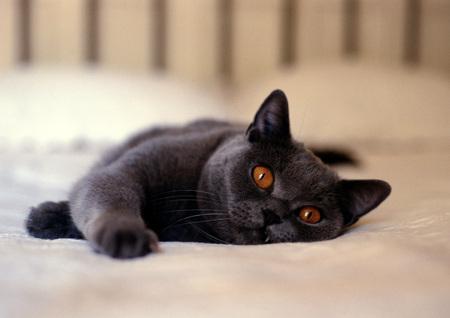 Gray cat with orange eyes lying on bed