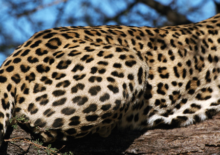 furs: African Leopard (Panthera pardus pardus), cropped view