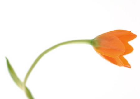 Orange chinkerinchee (ornithogalum dubium)