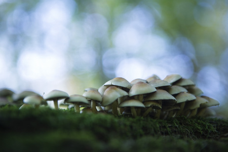 Large cluster of mushrooms growing on moss, selective focus