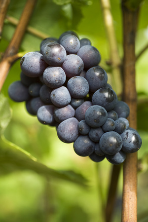 Black grapes growing on vine LANG_EVOIMAGES