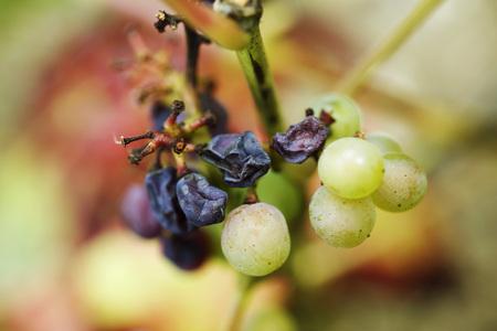 White grapes and raisins on stem, close-up